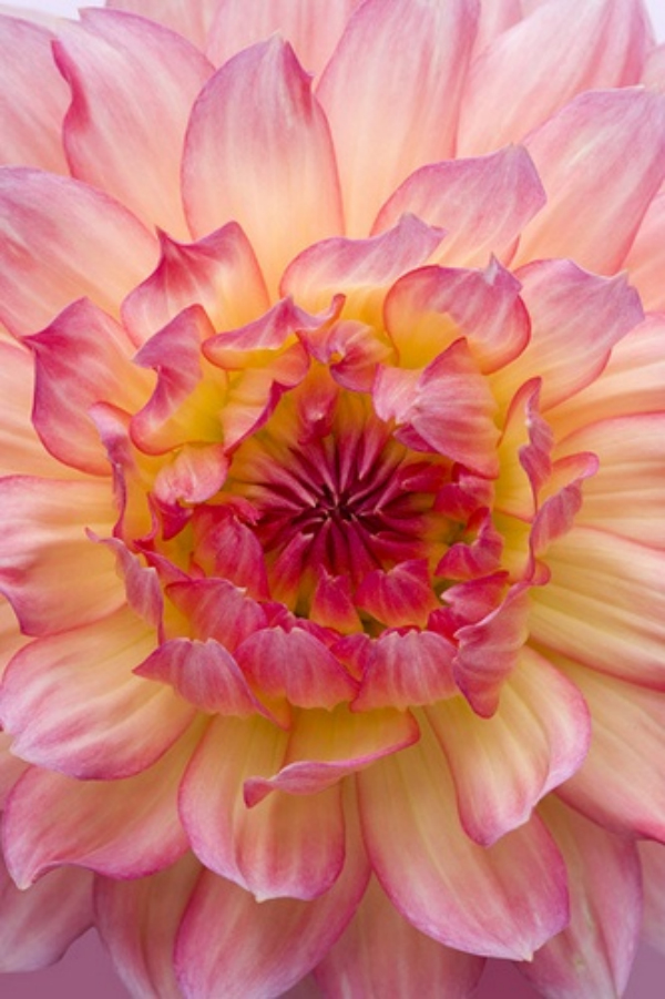 Daydream-In-Color-Pink-Dahlia